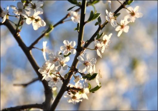 Tjørnens smukke hvide blomster