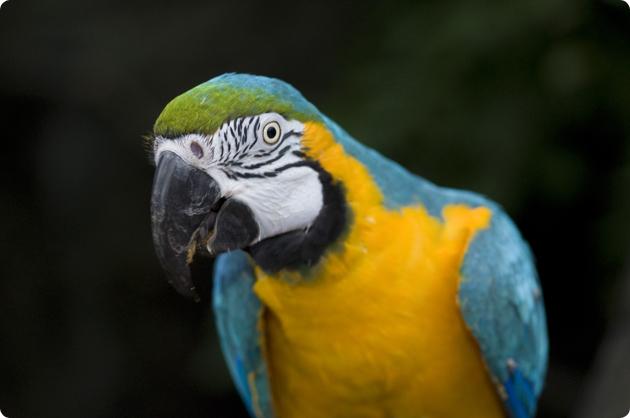 Blue yellow ara (Ara ararauna)