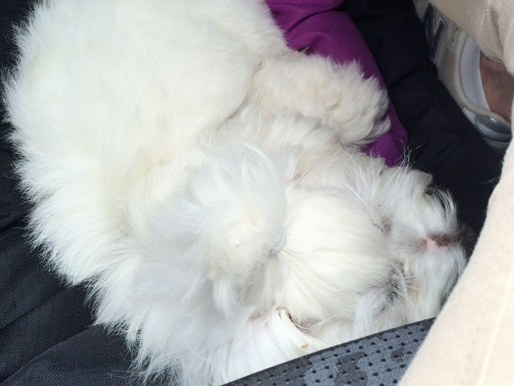 Cleo i bilen