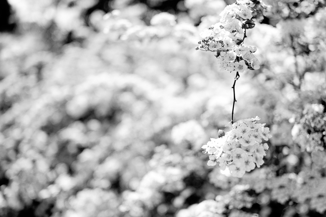 White-flowers-convertet-to-BW-1080x720