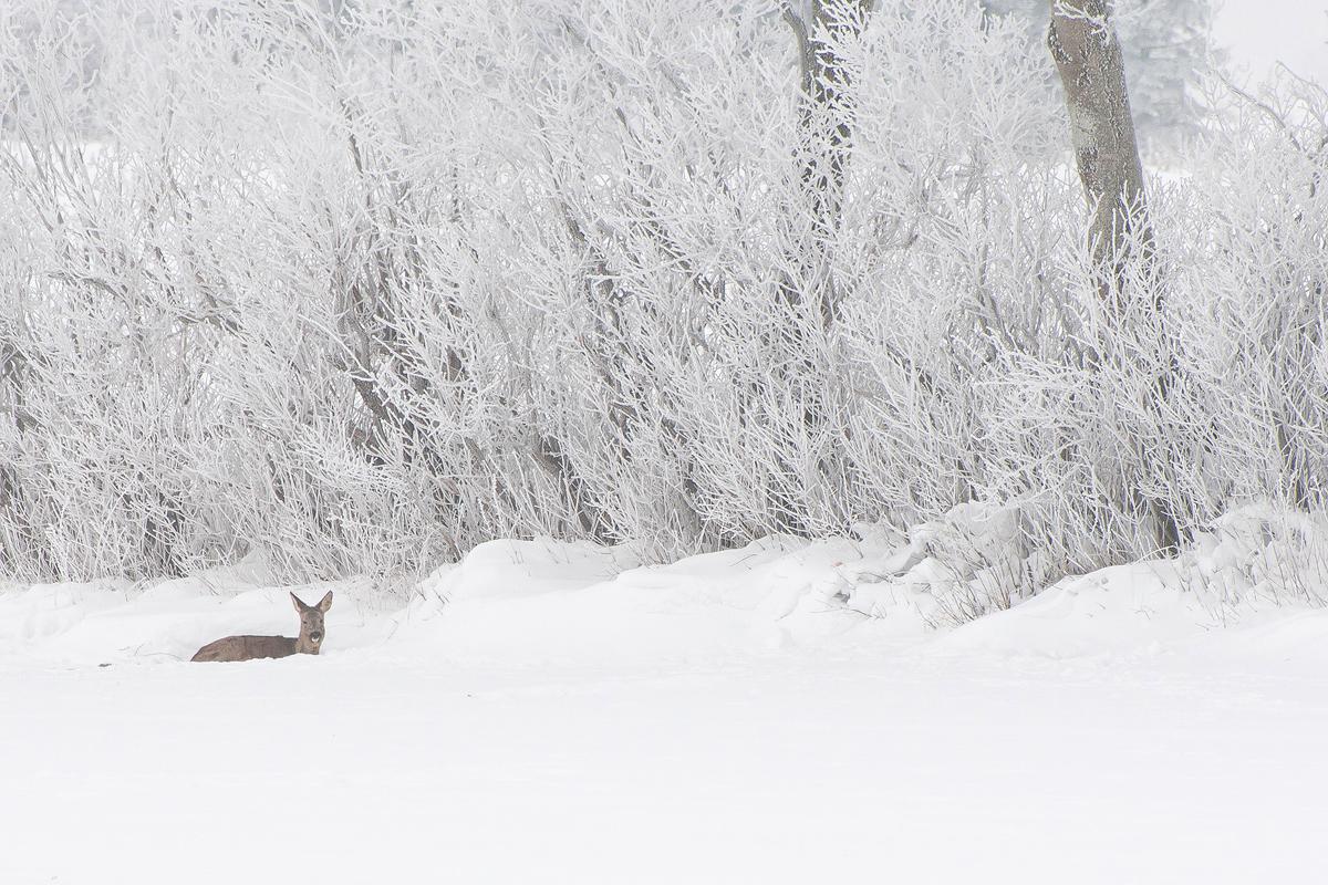 _DSC8623_Dådyr i sneen copy